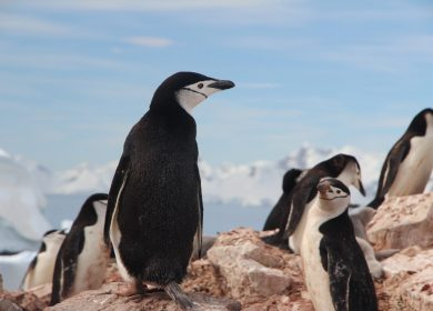 Penguins looking over a hill